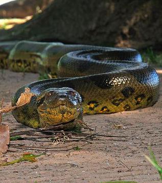 Die größte Schlange der Welt ist die Große Anakonda