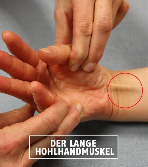Der lange Hohlhandmuskel ist durch die Handgelenkssehne sichtbar, doch nicht jeder besitzt ihn. Warum? Weil er keinen Nutzen hat.