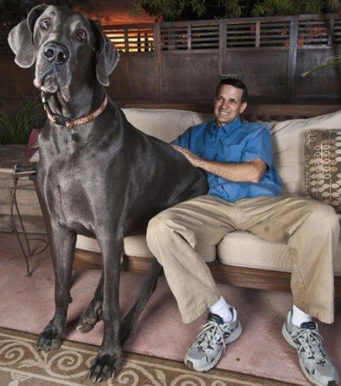 Giant George gilt mit seinen über 2 Metern Länge als der größte Hund der Welt