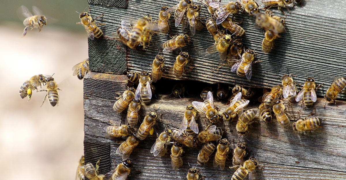 Notre Dame Bienen
