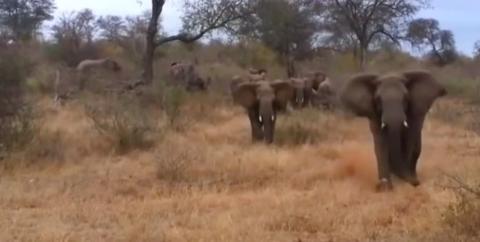 Touristen filmen Elefanten bei Safari, da stürmt einer los!