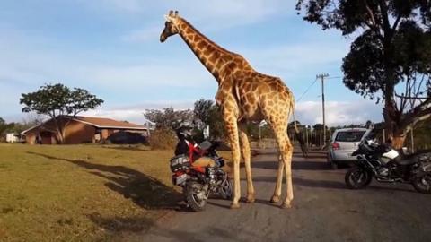 """Was die Giraffe mit dem Motorrad """"treibt"""", ist komplett verrückt (Video)"""