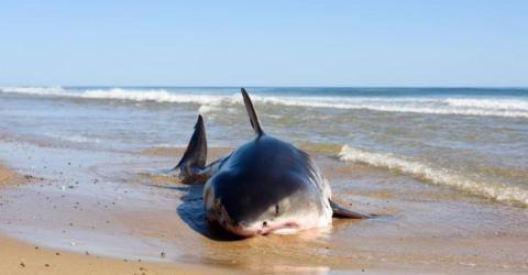 Fischer schlitzt den Bauch eines Hais auf und macht eine grausige Entdeckung