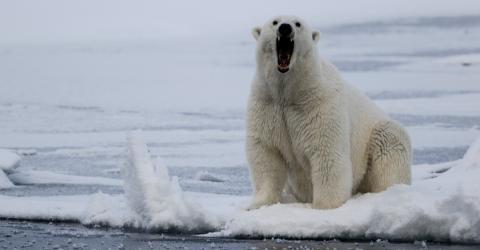 Angriffe und Jagd auf Menschen: Warum dieses Dorf von einer Horde Eisbären überfallen wird (Video)