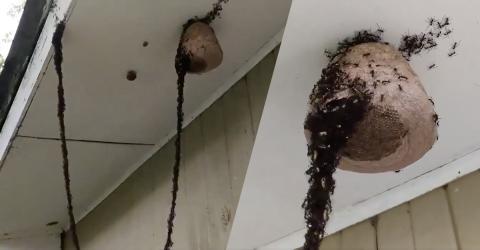 Ameisen stürmen und plündern ein Wespennest