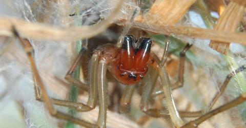 Der Deutsche Naturschutzbund warnt vor einer giftigen Spinne in Deutschland