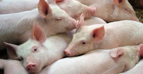 Deutschland: 900 Schweine sterben qualvoll - wegen Einbrecher