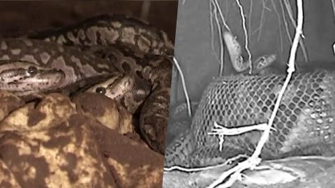 Was diese Python gleich macht, wurde noch nie zuvor beobachtet