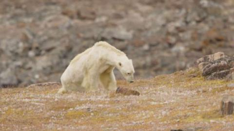Dramatisches Eisbär-Video zeigt, wie es um die Tierart bestellt ist