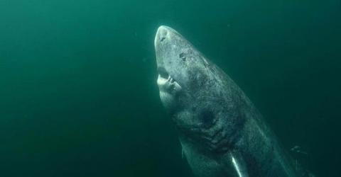 Grönlandhai ist das älteste Wirbeltier der Welt