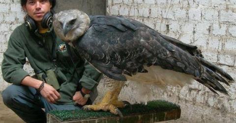 Die Harpyie: Einer der gewaltigsten Raubvögel der Welt droht auszusterben