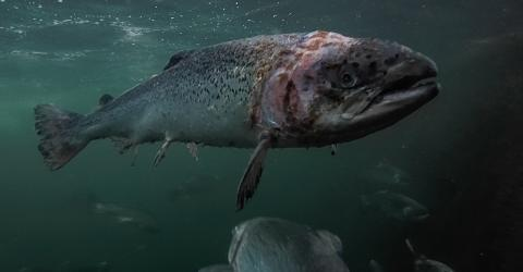 Schock-Video enthüllt Zustand von Lachsen in schottischer Zucht