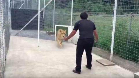 Mann rettet Löwin als Junges vor dem sicheren Tod: 2 Jahre später sieht sie ihn wieder und reagiert unglaublich!