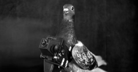 Die Vorgänger von Drohnen sind Tauben und zwar ganz besondere