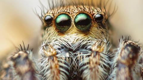 Spinnen könnten die Menschheit binnen einen Jahres ausrotten