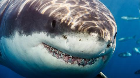 Der Weiße Hai wird immer mehr gejagt. Aber nicht vom Menschen