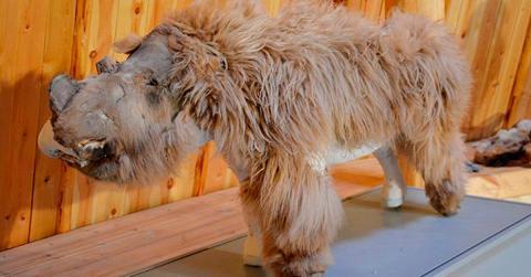 Wissenschaftler hauchen Baby-Wollnashorn aus der Eiszeit neues Leben ein