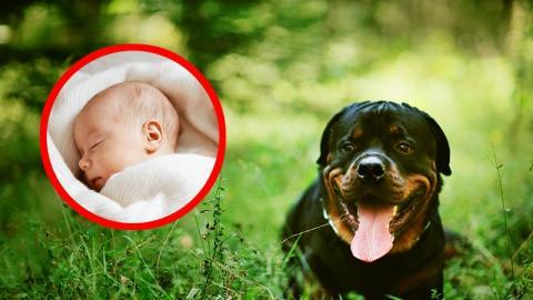 Rottweiler findet schutzloses Baby: Dann passiert etwas Unglaubliches