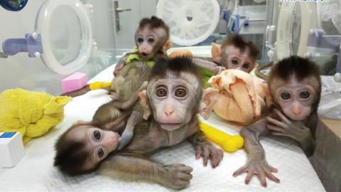 5 Affen geklont: Doch sie haben ihnen ein furchtbares Gen eingepflanzt!