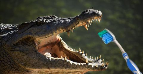 Krokodile haben immer frische Zähne: Jetzt interessiert sich die Zahnmedizin dafür