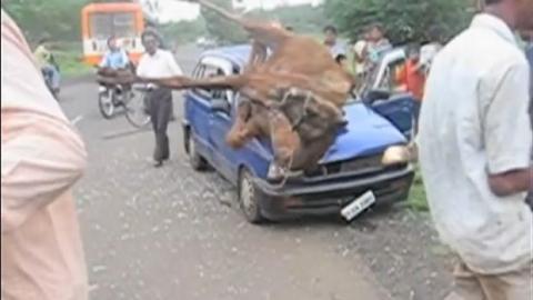 Achtung! So sieht Wildwechsel in Indien aus!