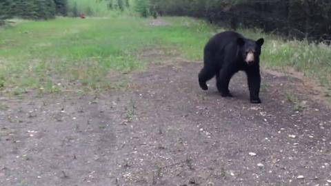 Sie filmen alles mit: Schwarzbär verfolgt Jogger (Video)