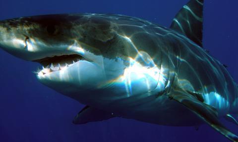 Bei einem Tauchgang begegnet ihnen der größte Hai, der je gesichtet wurde