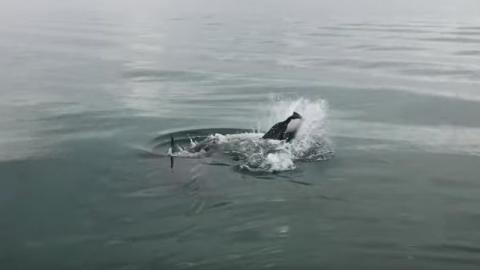 Weißer Hai reißt sich einen Delfin: Doch dann taucht ein noch größerer Hai auf