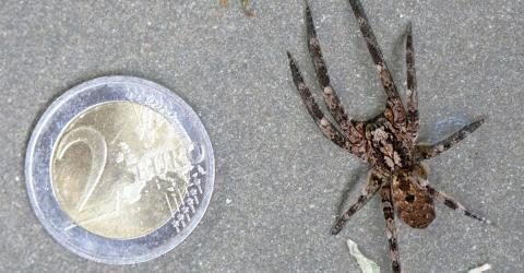 giftige spinnen in deutschland