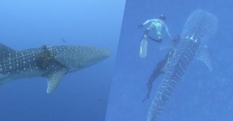 Hobby-Taucher stoßen auf Walhai: Doch dann machen sie eine grausige Entdeckung!