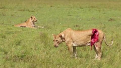 Schwerverletzte Löwin in Kenia von Tierärzten gerettet.