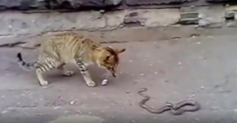 Armes Kätzchen: Es begegnet einer wütenden Giftschlange! (Video)