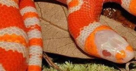 Extrem selten: Diese Schlange jagt allen Menschen wahnsinnige Angst ein