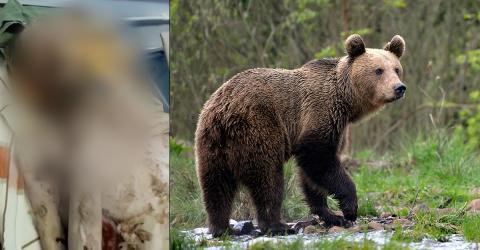 Alle denken, er wurde von einem Bären angegriffen: Das steckt wirklich dahinter