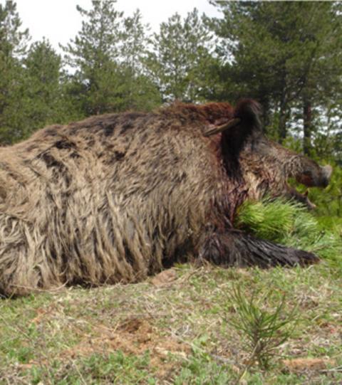 Größtes Wildschwein