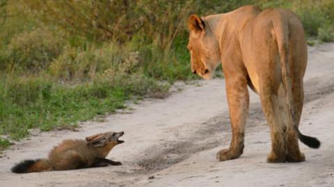 Löwin entdeckt verletzten Fuchs: Als ein zweiter Löwe dazu stößt, eskaliert die Situation!