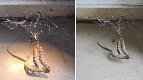 Schwarze Witwe und Giftschlange liefern sich ein erbittertes Duell