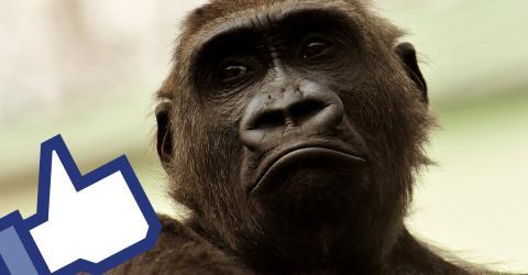 Die witzige Reaktion von Gorillas, die vom Regen überrascht werden, sorgt auf Facebook für Aufsehen (Video)