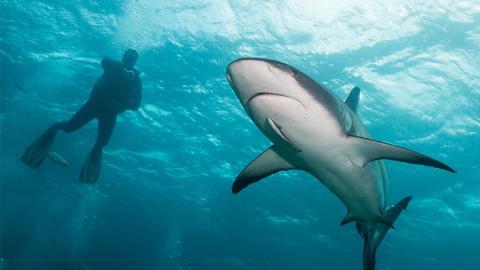 Gänsehauteffekt: Taucher filmen sich, wie sie mit einem riesigen weißen Hai schwimmen