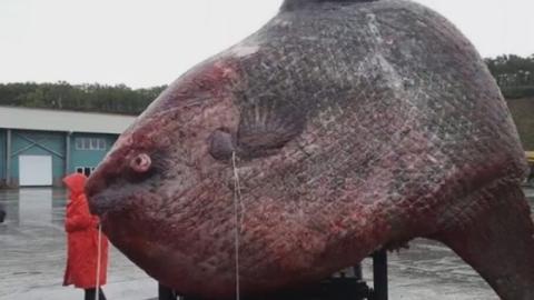 Angler fängt 1,2 Tonnen schweren Mondfisch: Die Fotos sorgen für Empörung