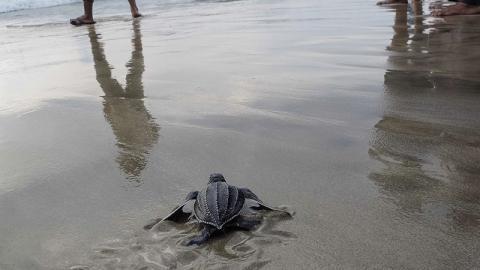 Die Lederschildkröte fasziniert mit ihrer äußeren Schönheit, doch dann entdecken sie, was sich in ihrem Maul befindet