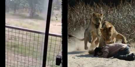 In Löwengehege eingedrungen: Mann wird vor Augen der Besucher zerfleischt (Video)