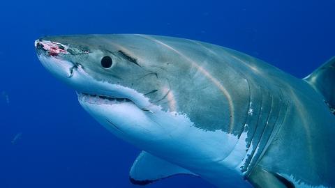 Mysteriöse Hai-Bisse deuten auf Existenz von totgeglaubtem Steinzeit-Tier hin