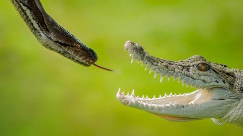 Riesige Python und Krokodil im Duell: Der Ausgang sorgt für erstaunte Gesichter