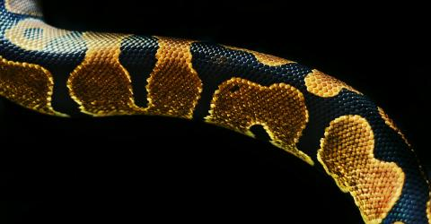 Fehlbildung einer Schlange erstaunt Förster in Australien