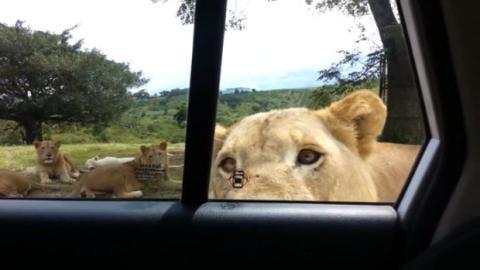 Wenn mitten auf einer Safari ein Löwe die Tür eines Touristenautos öffnet