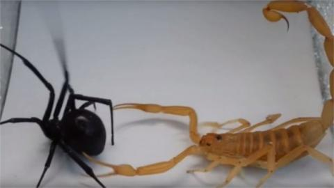 Eine schwarze Witwe und ein Skorpion liefern sich einen Kampf um Leben und Tod
