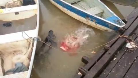 Touristen füttern in Brasilien ausgehungerte Piranhas in einem Fluss
