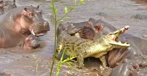 Das Krokodil wagt sich mitten in eine Horde von Nilpferden und bereut es sofort