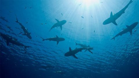 Entdeckung: Neue Haiart stößt Sekret aus, das etwas Unglaubliches macht